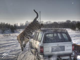 A candid action shot of a Siberian Tiger in action during a tour of the harbin Tiger Park and Sanctuary in Winter, 2011.